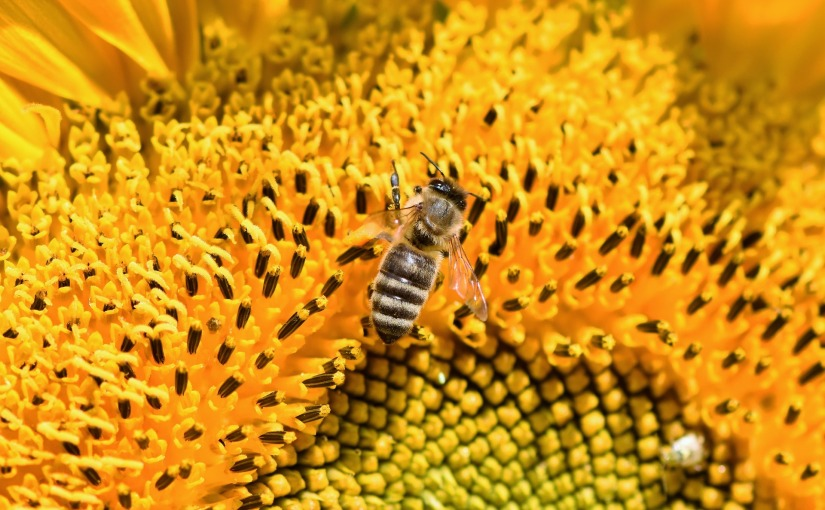 New agricultural methods increase bee populations and yields forfarmers