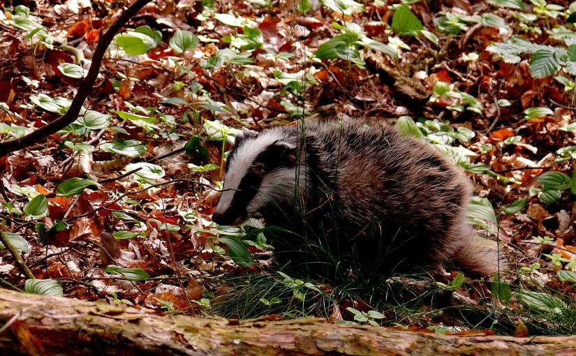 Governmental cherry-picking: over 32,000 badgers killed in annual cull